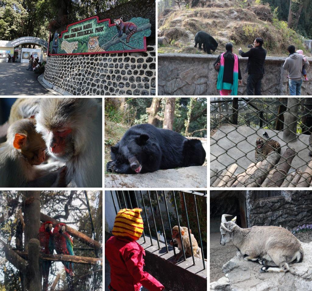 Nascenia visiting the Padmaja Naidu Himalayan Zoological Park